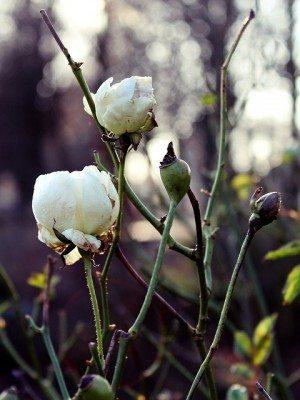 Pixabay rose-603027_640