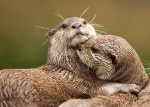 Dollar Photo Oriental Short-Clawed Otters cuddling