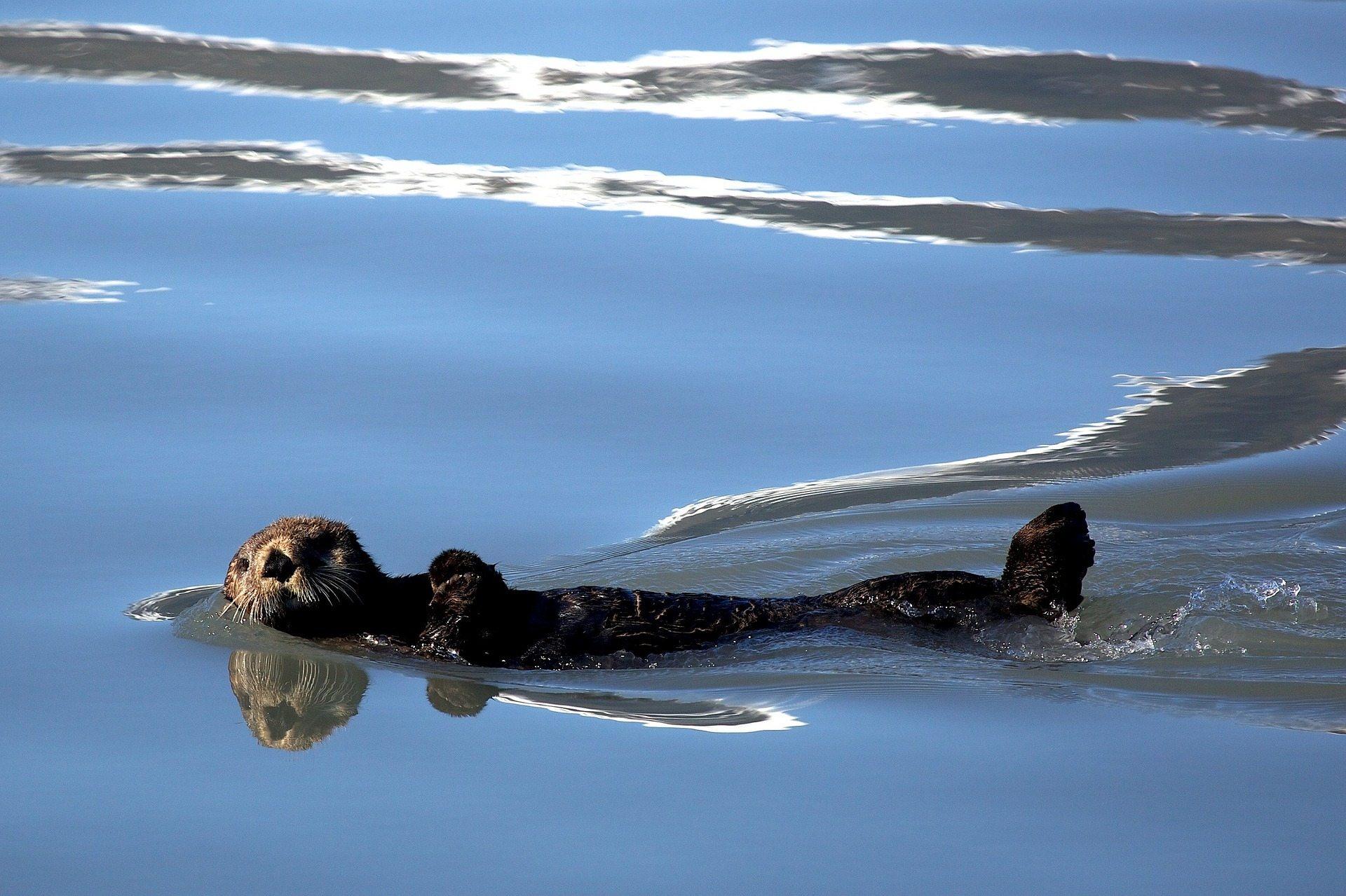 Drifting apart Pixabay sea-otter-1405970_1920